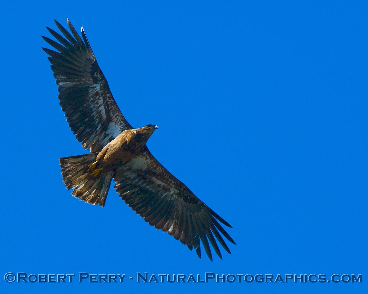 Juvenile bald eagle flys over the boat on Lake Cachuma, Santa Barbara County.