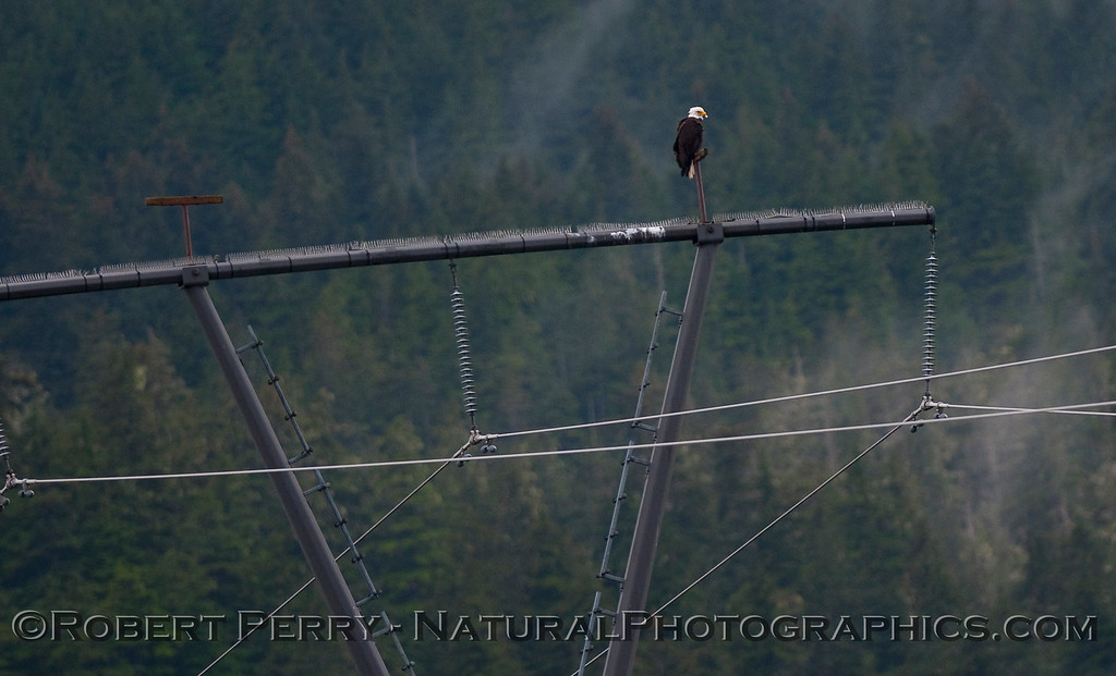 Bald Eagle (Haliaeetus leucocephalus) on perch constructed atop high power lines, as seen from window of The Juneau Hotel.