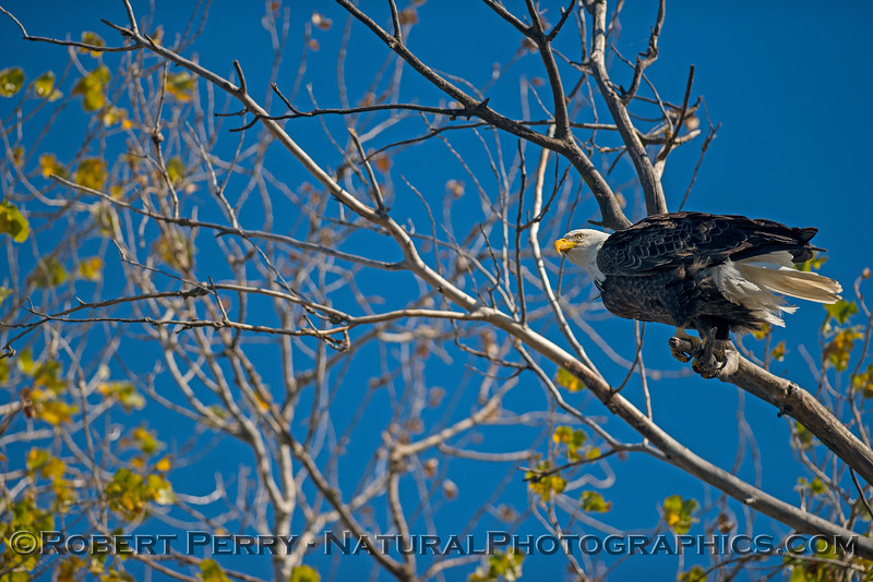 Haliaeetus leucocephalus TWO in tree 2017 12-21 Sac NWR-094