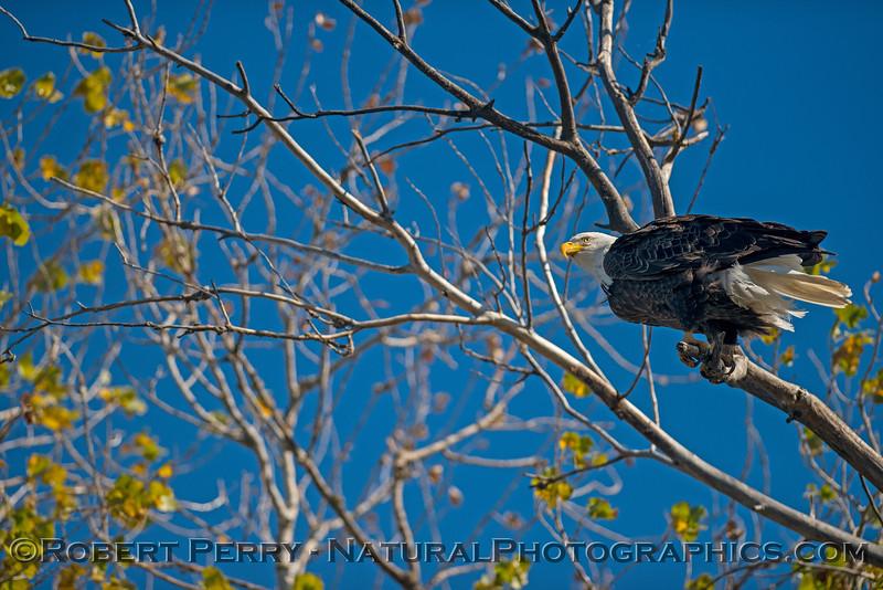 Haliaeetus leucocephalus TWO in tree 2017 12-21 Sac NWR-094