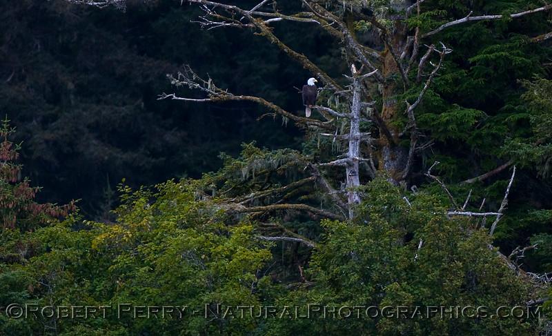 Bald Eagle (Haliaeetus leucocephalus) on dead tree branch.