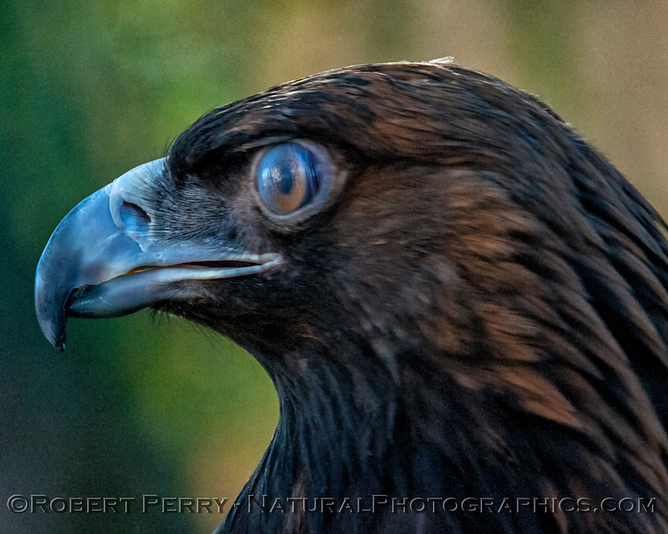 Aquila chrysaetos Golden Eagle nictitating membrane 2018 02-17 Davis Raptor Ctr-009