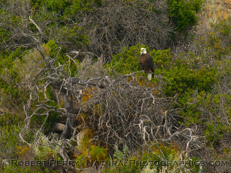 Another tagged bald eagle sits on a small tree overlooking the ocean, Santa Cruz Island.  Image 2 of 2.