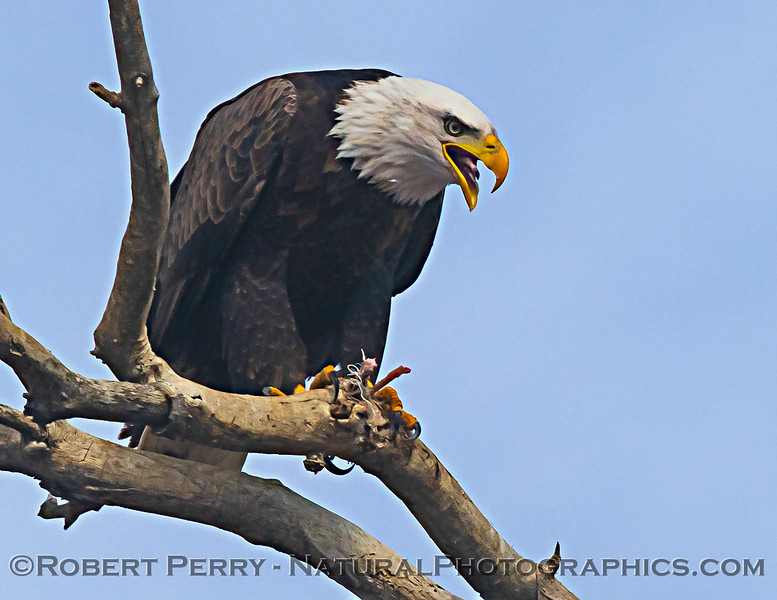 Haliaeetus leucocephalus Bald eagle feeding 2020 12-30 Sac NWR--600