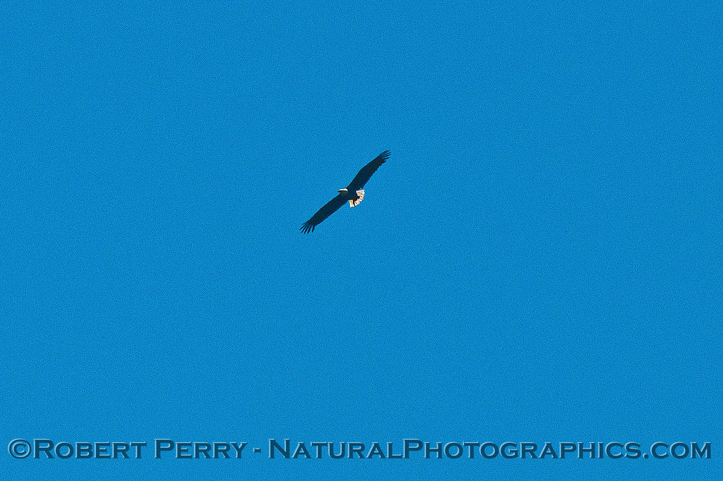 Haliaeetus leucocephalus soaring above Sta Cruz Island cliffs  2016 05-12 SB Channel-015