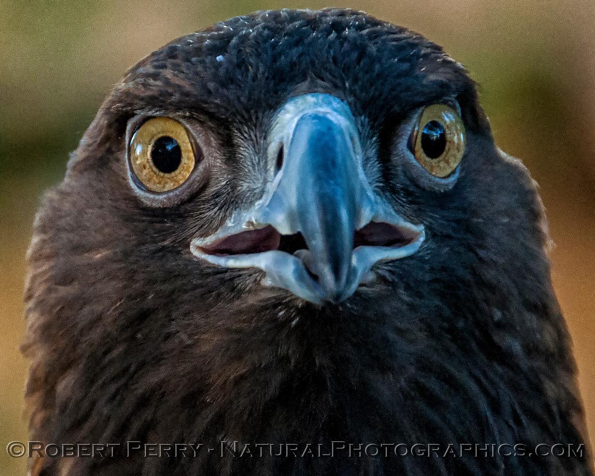 Aquila chrysaetos Golden Eagle 2018 02-17 Davis Raptor Ctr-049