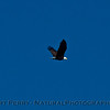 Haliaeetus leucocephalus in flight 2017 12-31 SB Channel--005