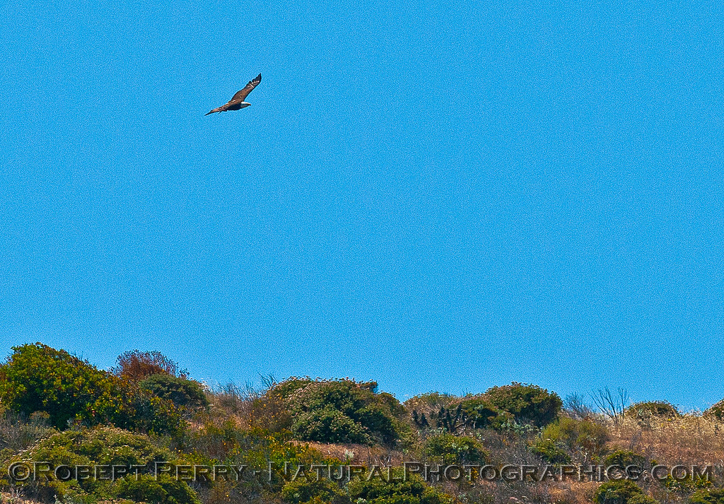 Haliaeetus leucocephalus soaring above Sta Cruz Island cliffs  2016 05-12 SB Channel-008