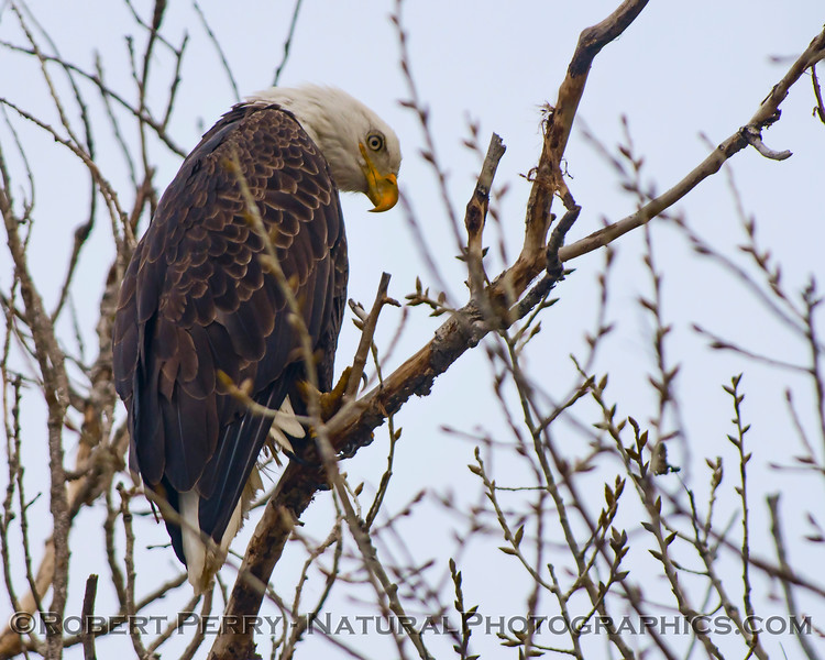 Haliaeetus leucocephalus Bald Eagle in tree 2018 01-26 Sacramento NWR--109