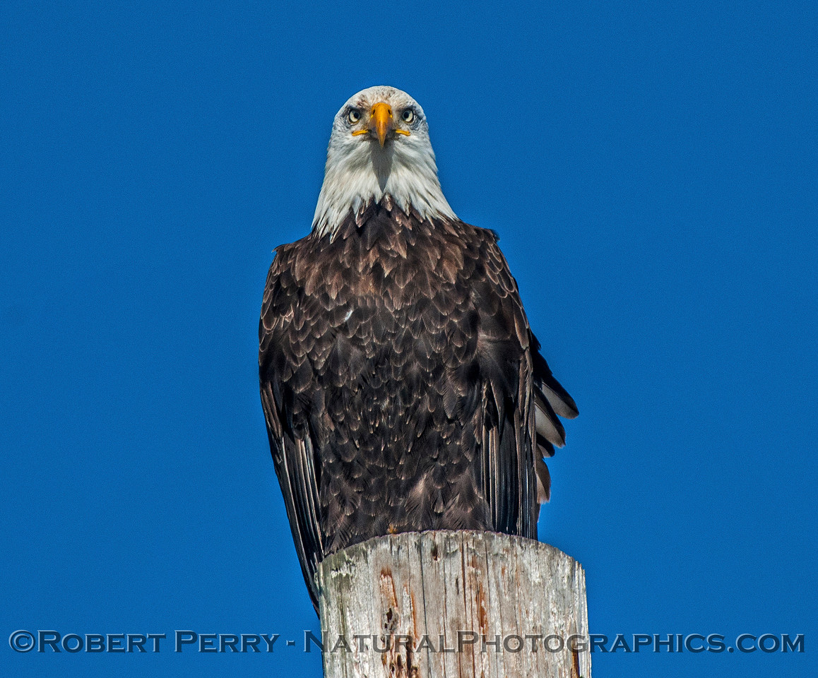 Haliaeetus leucocephalus on telephone pole 2017 01-14 - Bodega Bay - 0216