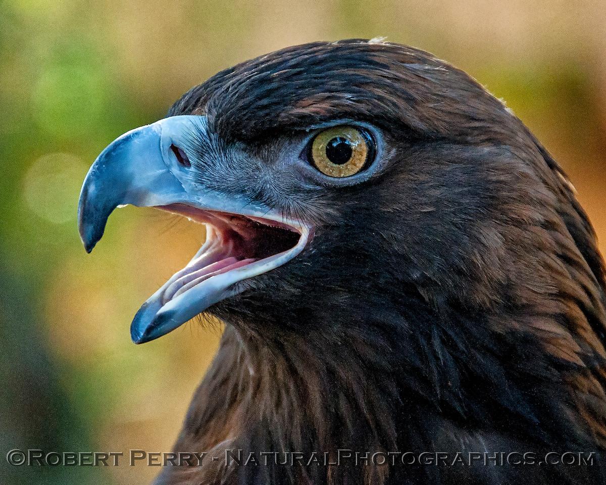 Aquila chrysaetos Golden Eagle 2018 02-17 Davis Raptor Ctr-047