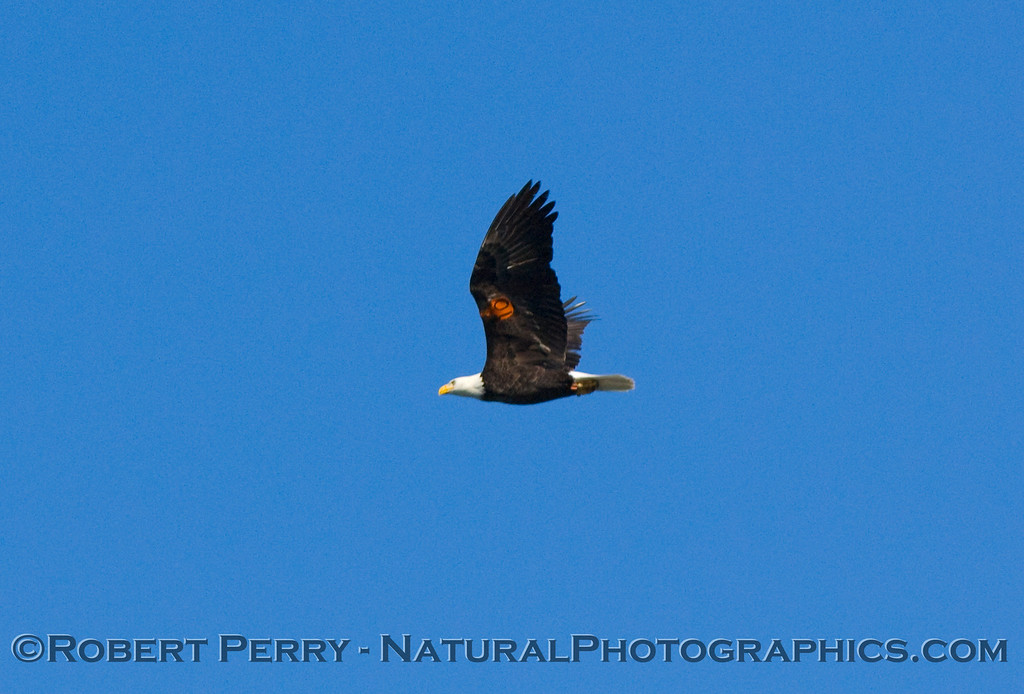Bald Eagle #10 on patrol near the Painted Cave on Santa Cruz Island where it was raised.