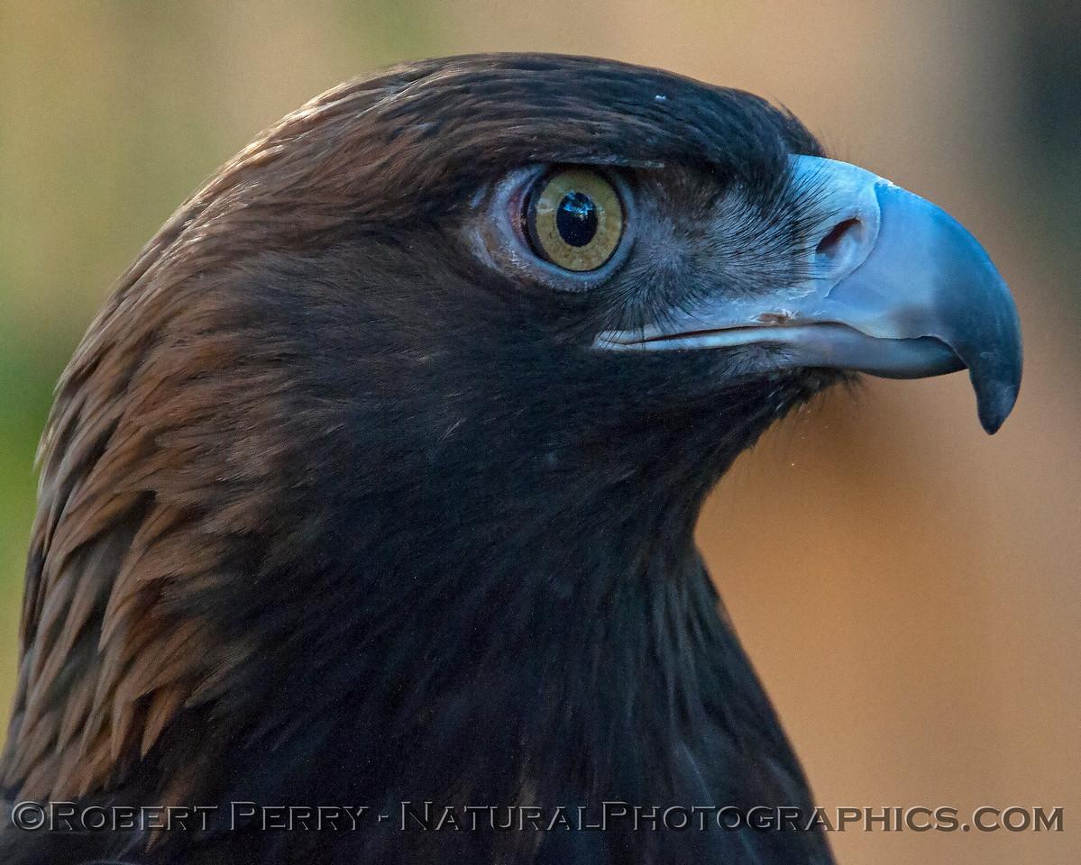 Aquila chrysaetos Golden Eagle 2018 02-17 Davis Raptor Ctr-028