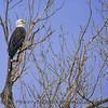 Haliaeetus leucocephalus Bald Eagle in tree 2018 01-26 Sacramento NWR--044