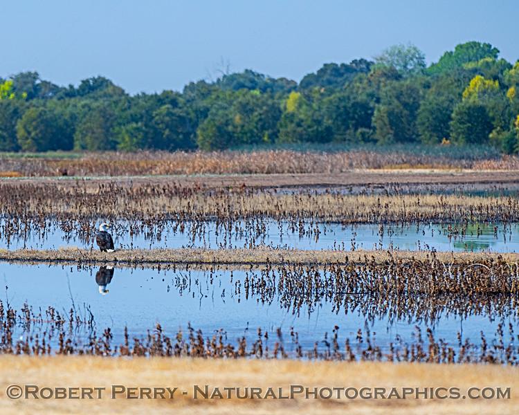 Haliaeetus leucocephalus on island in pond 2019 10-15 Cosumnes River Preserve--018