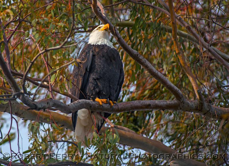 Haliaeetus leucocephalus adult bald eagle in tree 2017 01-06 -Sacramento NWR - 101