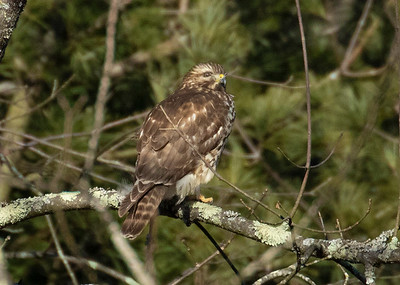 Juvenile Broad Winged Hawk