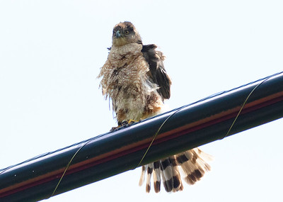 Fledging Cooper Hawk