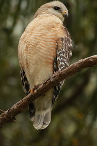 Red Shouldered Hawk. Orlando FL Feb 2019