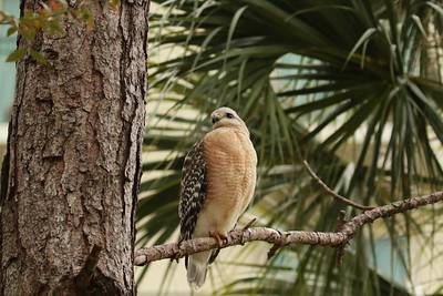 Red Shouldered Hawk. Orlando FL Feb 2019
