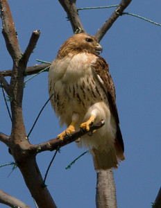 Red tail hawk defends against blue jay arial attack