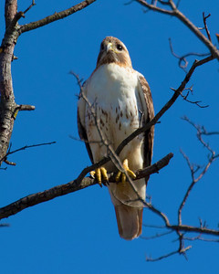Redtail Hawk in the Spring, 2020