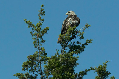 White morph red tail hawk