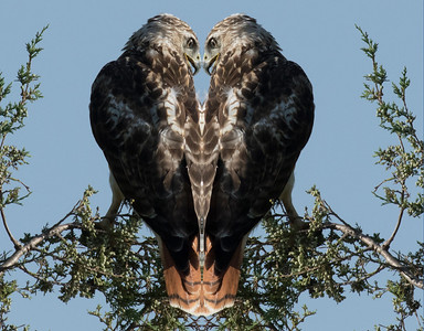 White morph red tail hawk Hearts