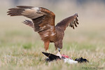 Swamp / Australasian Harrier (Circus approximans)
