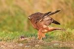 Swamp / Australasian Harrier (Circus approximans)