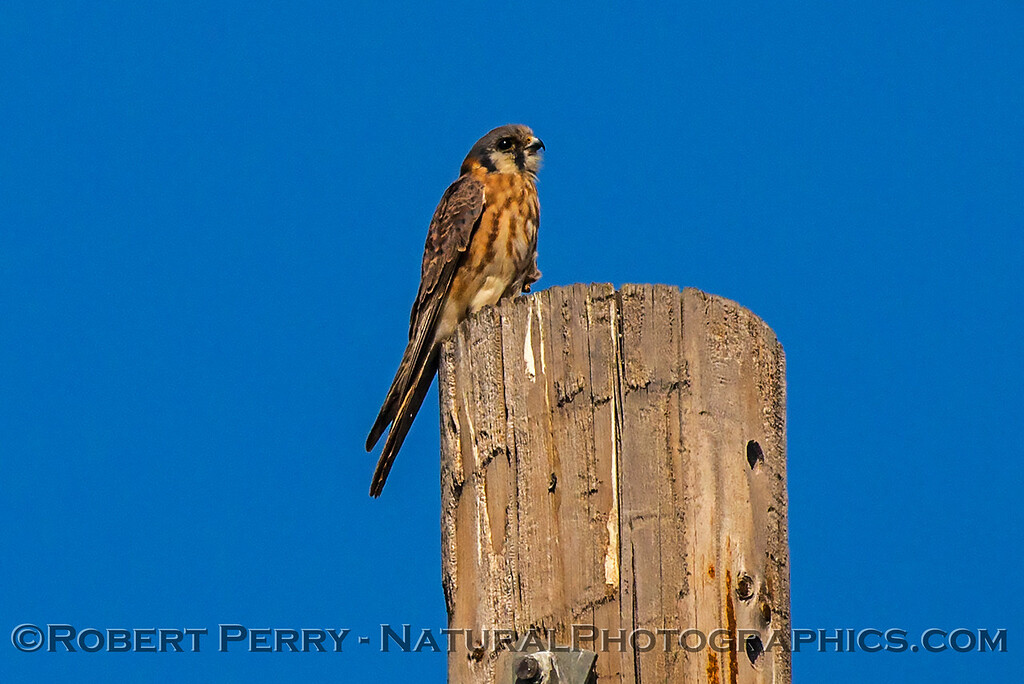 Falco sparverius American kestrel on telephone pole 2017 10-16-Staten Island-040