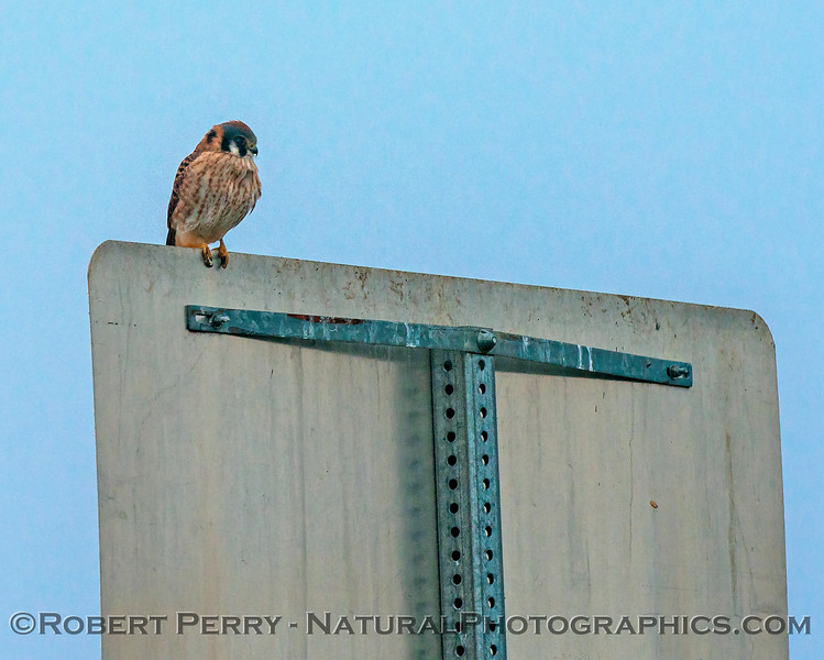 Falco sparverius on road sign 2018 01-11 Yolo County--002
