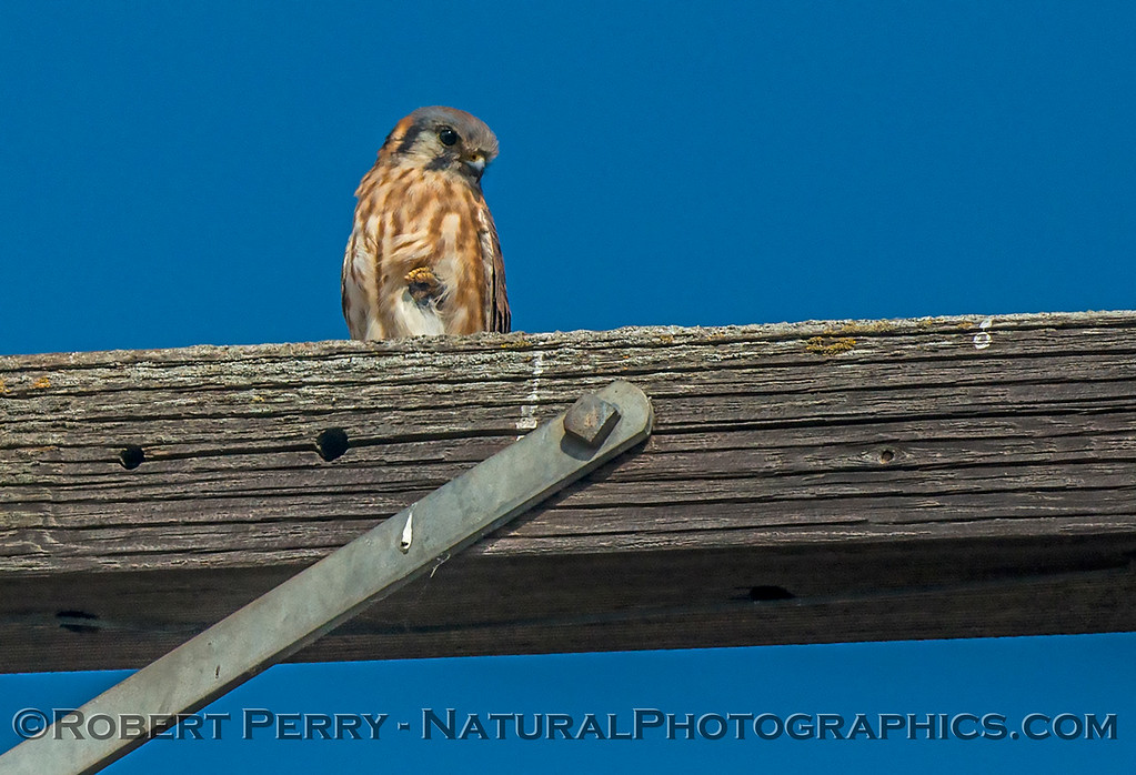 Falco sparverius American kestrel on telephone pole 2017 10-16-Staten Island-088