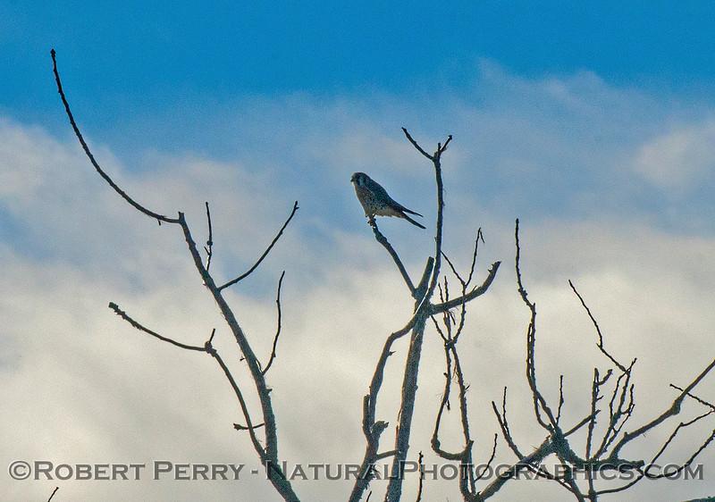 Falco sparverius American kestrel 2016 12-06 Sacramento NWR-007
