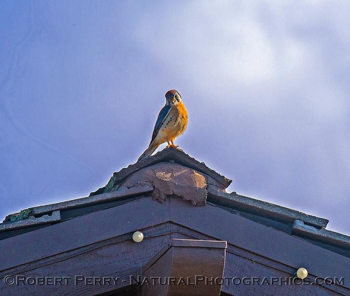 Falco sparverius on roof of Blackstone Club 2018 01-19 EDH-003