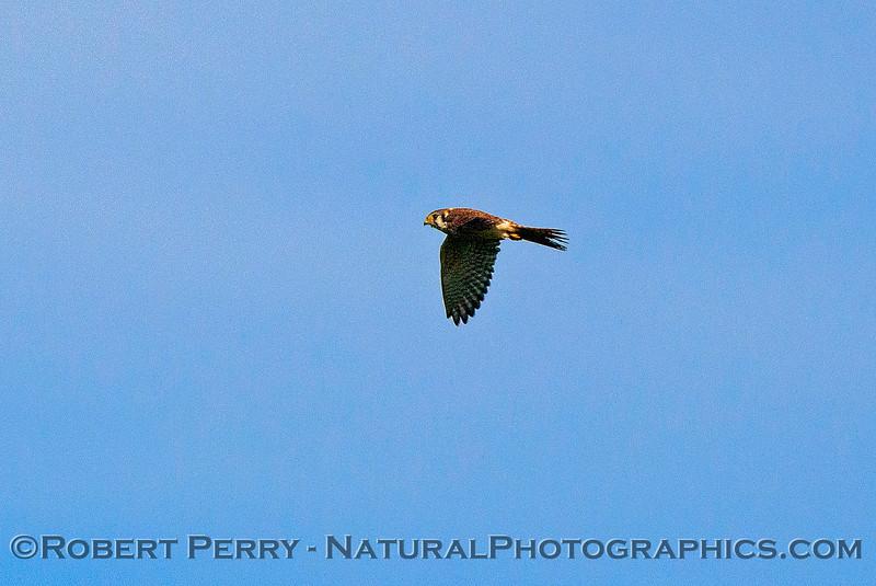 Falco sparverius American kestrel in flight 2016 11-13 Staten Island Calif-032