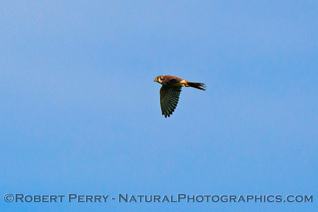 Falco sparverius American kestrel in flight 2016 11-13 Staten Island Calif-032