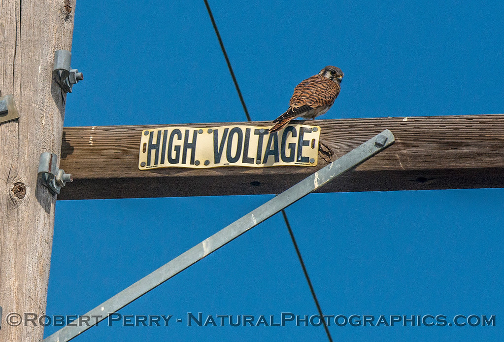 Falco sparverius American kestrel on telephone pole 2017 10-16-Staten Island-124