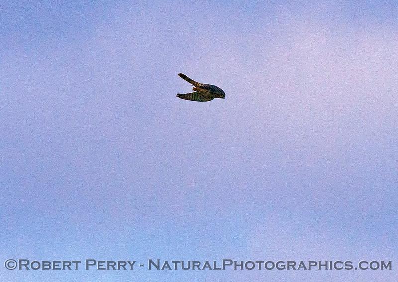 Falco sparverius Kestrel 2016 12-12 Meiss Road-033