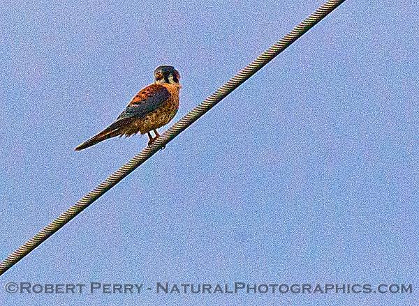 Falco sparverius Kestrel 2016 12-12 Meiss Road-048