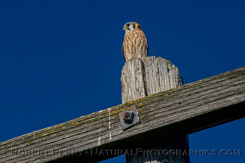 Falco sparverius 2017 11-07-Staten Island-b-078