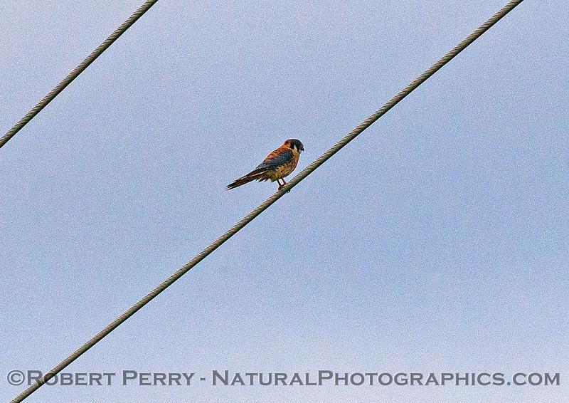 Falco sparverius Kestrel 2016 12-12 Meiss Road-053