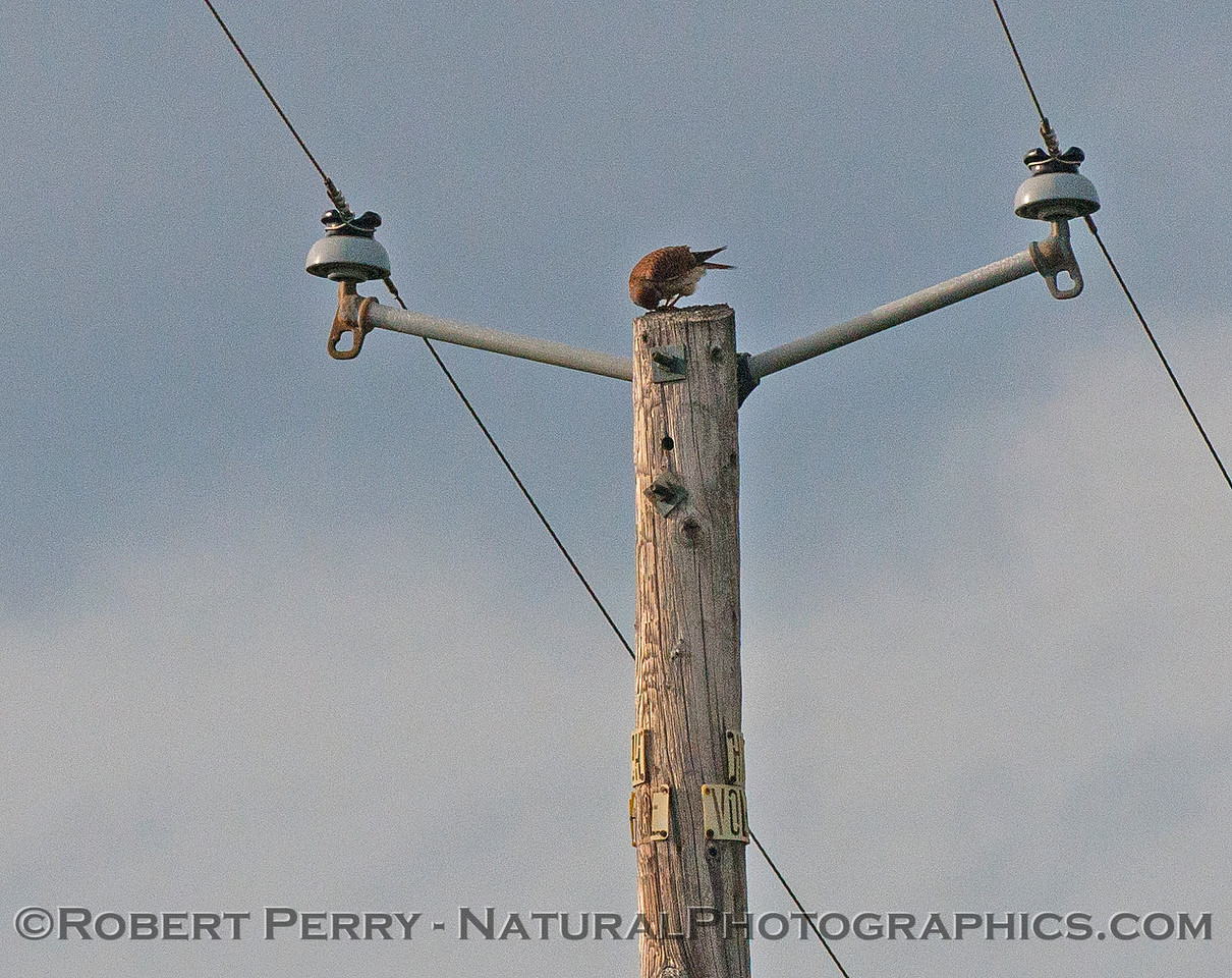 Falco sparverius on phone pole 2017 02-02 Payen Rd-005