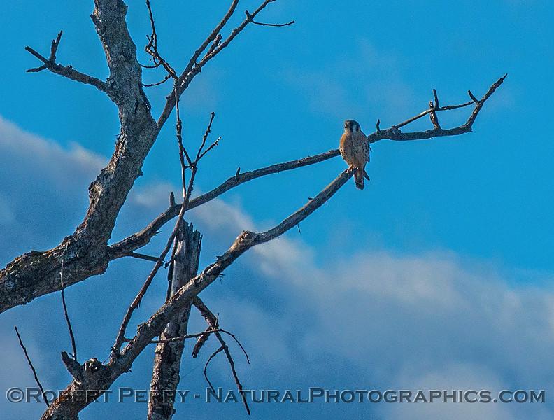 Falco sparverius American kestrel 2016 12-06 Sacramento NWR-017