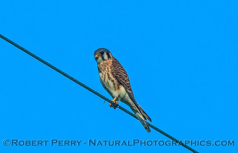 Falco sparverius American kestrel on wire 2016 11-13 Staten Island Calif-014