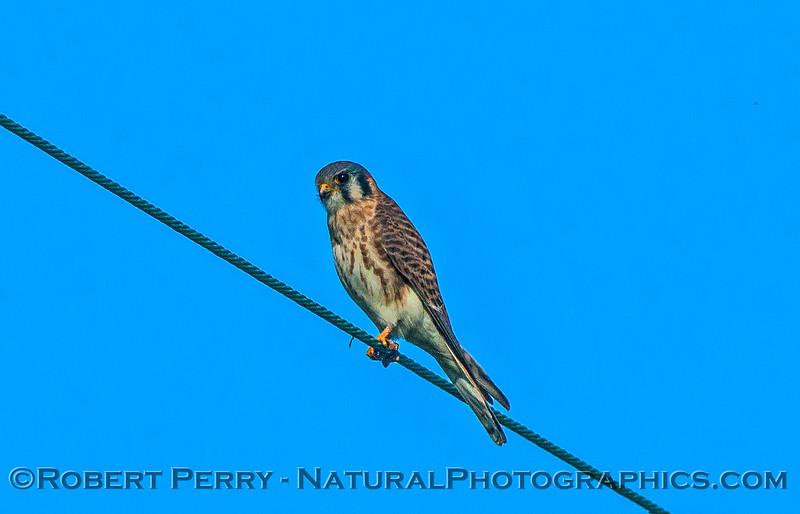 Falco sparverius American kestrel on wire 2016 11-13 Staten Island Calif-014