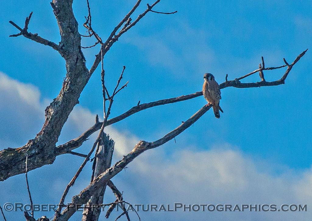 Falco sparverius American kestrel 2016 12-06 Sacramento NWR-024