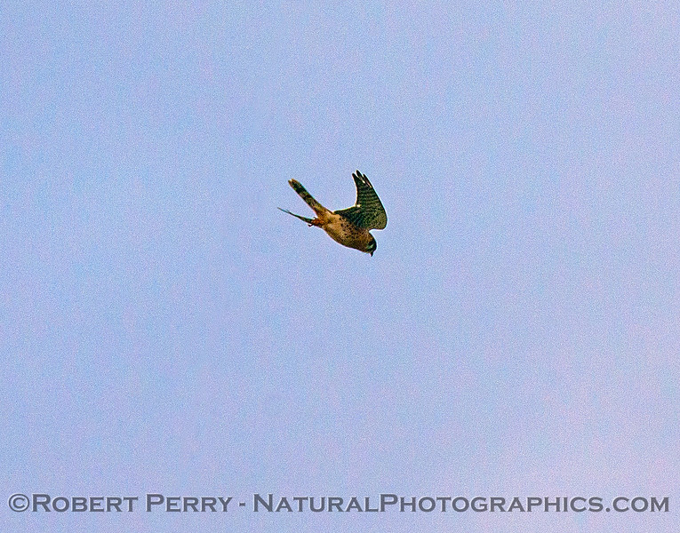 Falco sparverius Kestrel 2016 12-12 Meiss Road-022