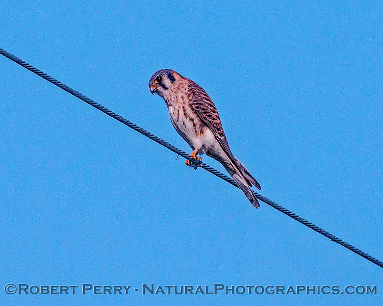 Falco sparverius American kestrel on wire 2016 11-13 Staten Island Calif-001