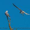 Elanus leucurus TWO white-tailed kites 2016 10-05 Yolo Bypass - 050